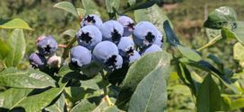 1 cup organic blueberries nutrition facts